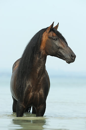HOR 01 SS0356 01 © Kimball Stock Portrait Of Paso Fino Stallion Standing In Water