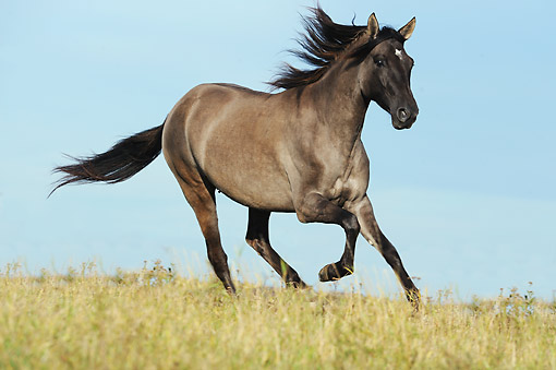 HOR 01 SS0358 01 © Kimball Stock Paso Fino Mare Galloping Through Field