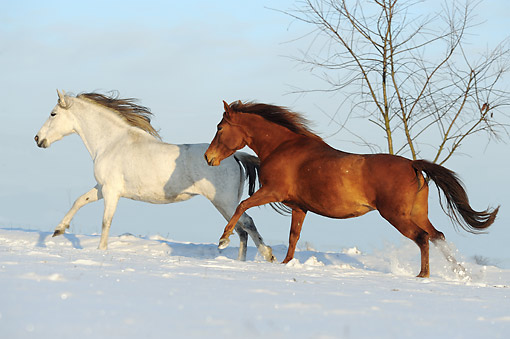 HOR 01 SS0361 01 © Kimball Stock Two Paso Fino Mares Galloping In Snow