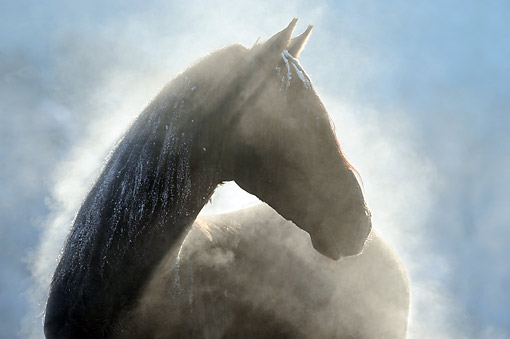 HOR 01 SS0364 01 © Kimball Stock Backlit Close-Up Of Paso Fino Stallion In Snow