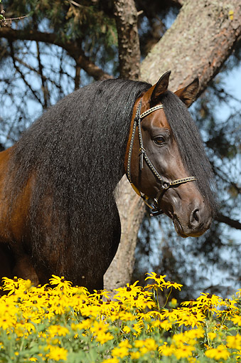 HOR 01 SS0368 01 © Kimball Stock Head Shot Of Paso Fino Stallion By Yellow Flowers