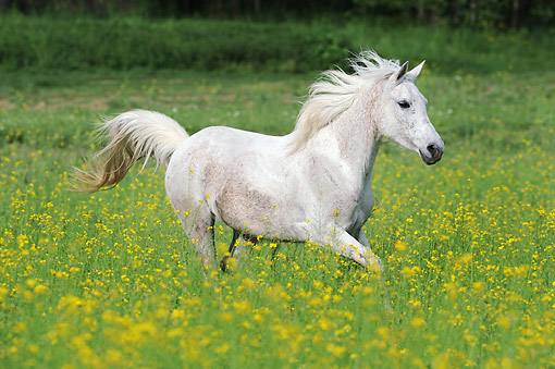 HOR 01 SS0371 01 © Kimball Stock Purebred Arabian Stallion Galloping In Spring Meadow