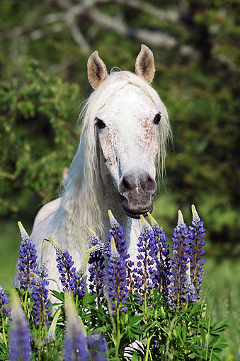 HOR 01 SS0373 01 © Kimball Stock Portrait Of Purebred Arabian Mare By Spring Flowers