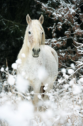 HOR 01 SS0375 01 © Kimball Stock Portrait Of Purebred Arabian Mare Standing In Snow