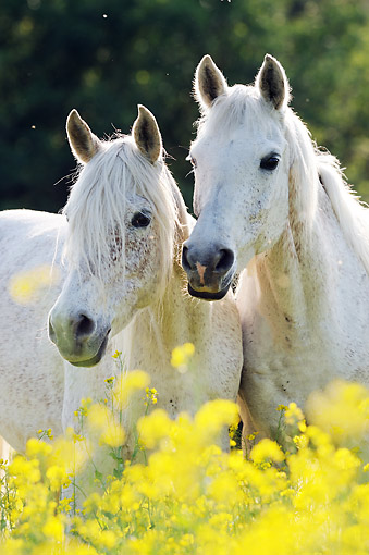 HOR 01 SS0377 01 © Kimball Stock Portrait Of Two Purebred Arabian Mares By Spring Flowers