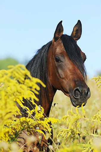 HOR 01 SS0379 01 © Kimball Stock Head Shot Of Purebred Arabian Mare In Summer Meadow