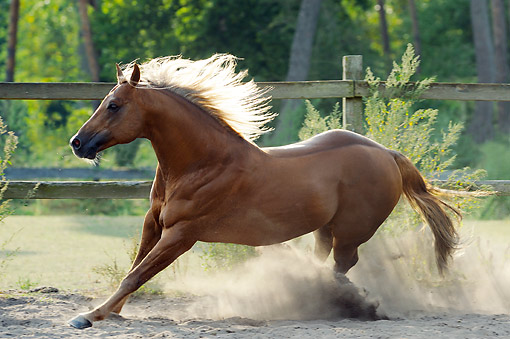 HOR 01 SS0380 01 © Kimball Stock Quarter Horse Stallion Running In Dusty Pasture In Summer