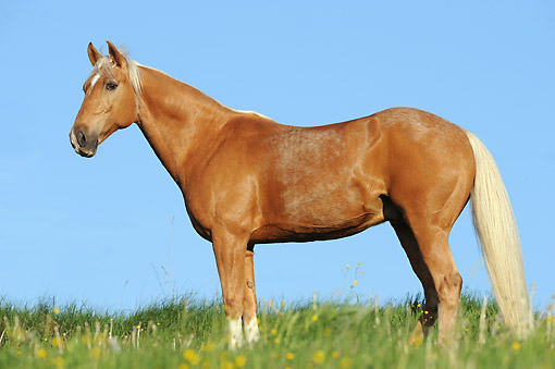 HOR 01 SS0382 01 © Kimball Stock Tennessee Walking Horse Gelding Standing In Spring Meadow