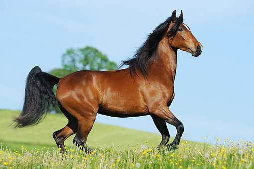 HOR 01 SS0383 01 © Kimball Stock Tennessee Walking Horse Mare Trotting In Spring Meadow