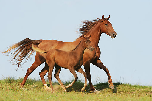 HOR 01 SS0384 01 © Kimball Stock American Saddlebred Horse Adult And Foal Trotting