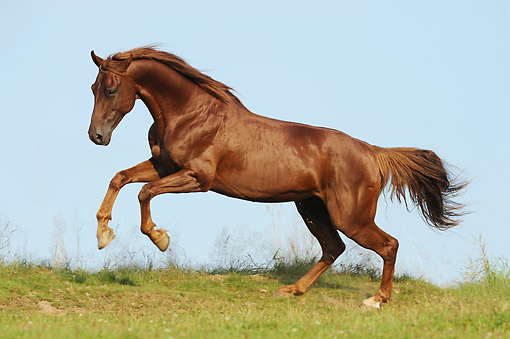 HOR 01 SS0387 01 © Kimball Stock American Saddlebred Horse Kicking In Pasture