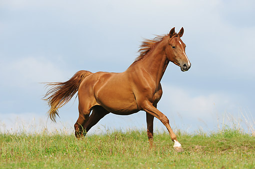 HOR 01 SS0389 01 © Kimball Stock American Saddlebred Horse Trotting In Pasture