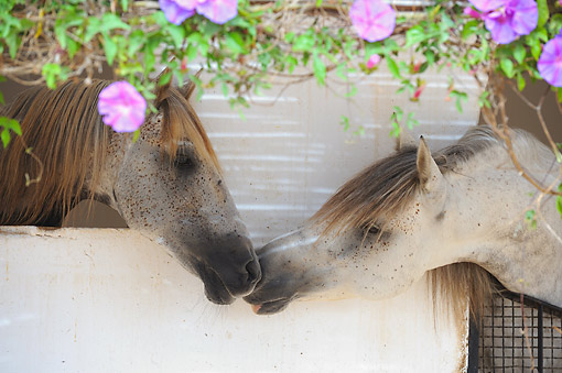 HOR 01 SS0400 01 © Kimball Stock Barb Horses Kissing