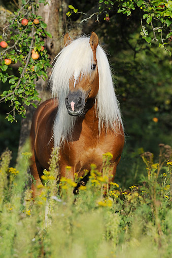 HOR 01 SS0409 01 © Kimball Stock Haflinger (Avelignese) Horse Standing In Grass And Flowers