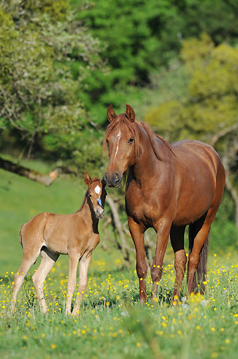HOR 01 SS0427 01 © Kimball Stock Mangalarga Marchador Horse Adult And Foal Standing In Grass