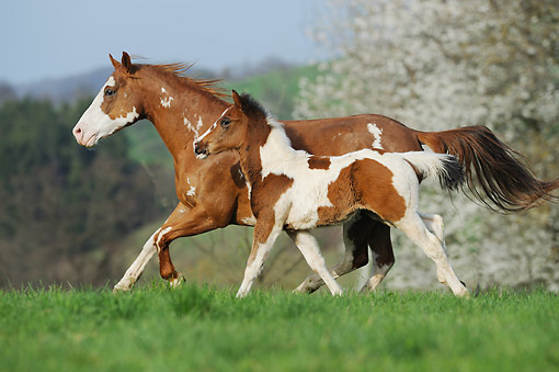 HOR 01 SS0431 01 © Kimball Stock Paint Horse Adult And Foal Trotting Through Pasture