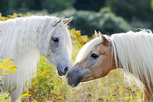 HOR 01 SS0449 01 © Kimball Stock Purebred Arabian And Haflinger Horse Nuzzling