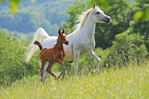 HOR 01 SS0452 01 © Kimball Stock Purebred Arabian Horse Adult And Foal Trotting Through Flowers