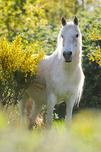 HOR 01 SS0456 01 © Kimball Stock Purebred Arabian Horse Standing In Grass And Flowers