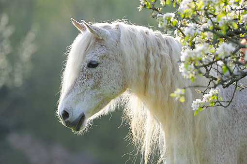 HOR 01 SS0457 01 © Kimball Stock Purebred Arabian Horse Standing In Grass And Flowers