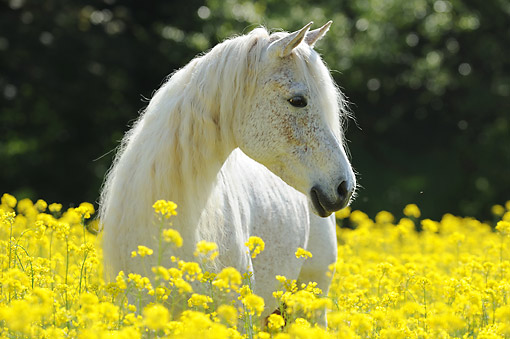 HOR 01 SS0458 01 © Kimball Stock Purebred Arabian Horse Standing In Grass And Flowers