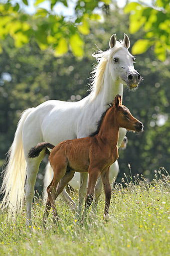 HOR 01 SS0461 01 © Kimball Stock Purebred Arabian Horse Adult And Foal Standing In Meadow