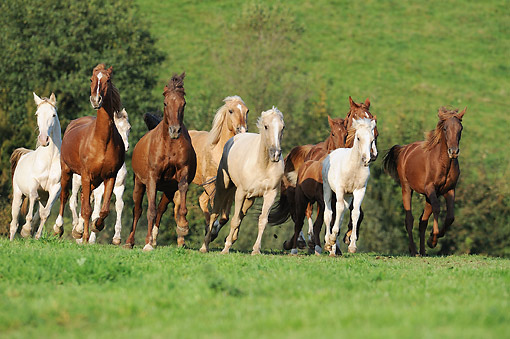 HOR 01 SS0465 01 © Kimball Stock Tennessee Walking Horse Herd Trotting Through Grass