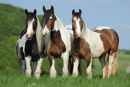 HOR 01 SS0472 01 © Kimball Stock Tinker (Gypsy) Horses Standing In Grass