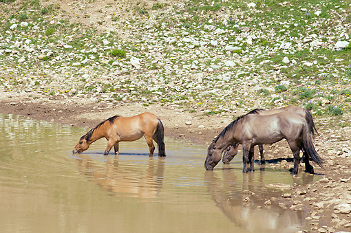 HOR 01 TL0034 01 © Kimball Stock Wild Horses Drinking From Pond