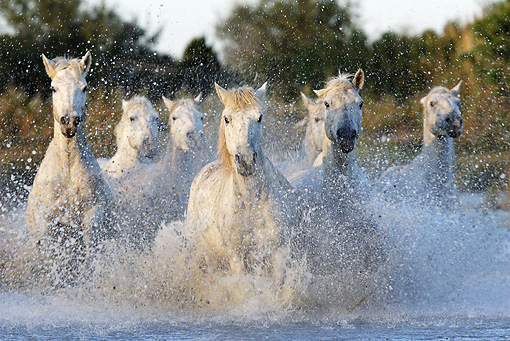 HOR 01 WF0004 01 © Kimball Stock Herd Of Camargue Horses Galloping Through Water