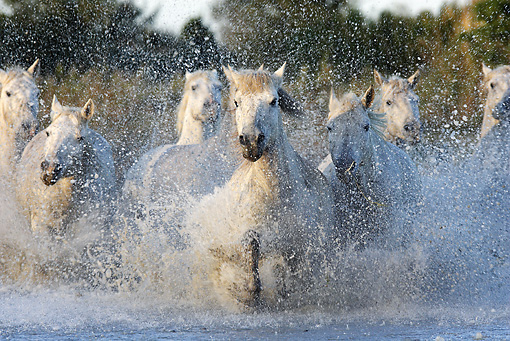 HOR 01 WF0005 01 © Kimball Stock Herd Of Camargue Horses Galloping Through Water