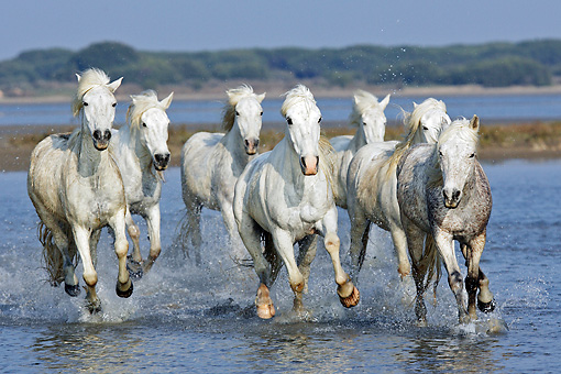 HOR 01 WF0006 01 © Kimball Stock Herd Of Camargue Horses Galloping Through Shallow Water