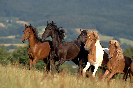 HOR 01 WF0008 01 © Kimball Stock Young Stallions Of Different Breeds Galloping Across Meadow