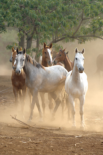 HOR 01 WF0010 01 © Kimball Stock Herd Of Partbred Horses Walking On Dusty Ground