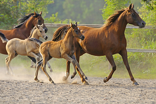 HOR 01 WF0011 01 © Kimball Stock Arabian Horse Mares Running With Foals In Paddock