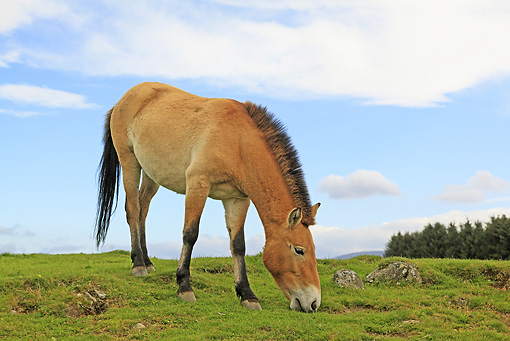 HOR 01 WF0012 01 © Kimball Stock Przewalski's Horse Grazing On Hillside Scotland