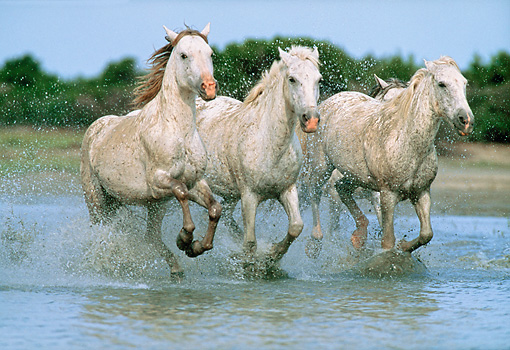 HOR 01 WF0013 01 © Kimball Stock Three Camargue Horses Running Through Water