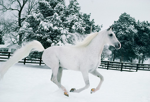 HOR 01 DB0001 01 © Kimball Stock Arabian Horse Galloping On Snow By Fence Trees