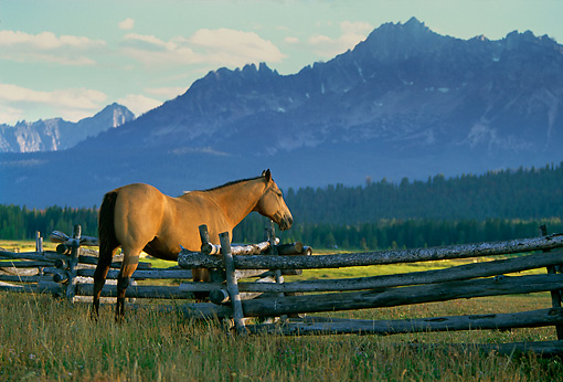 HOR 01 DB0006 01 © Kimball Stock Quarter Horse Standing By Fence In Field Rocky Mountains