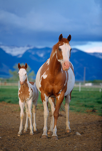 HOR 01 DB0009 01 © Kimball Stock Chestnut Paint Horse Mare And Foal