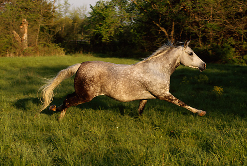 HOR 01 DB0011 01 © Kimball Stock Profile Of Dapple Gray Arabian Stallion Galloping In Pasture In Spring