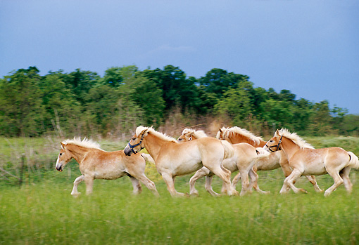 HOR 01 DB0012 01 © Kimball Stock Profile Of Herd Of Belgian Horses Galloping In Pasture In Spring
