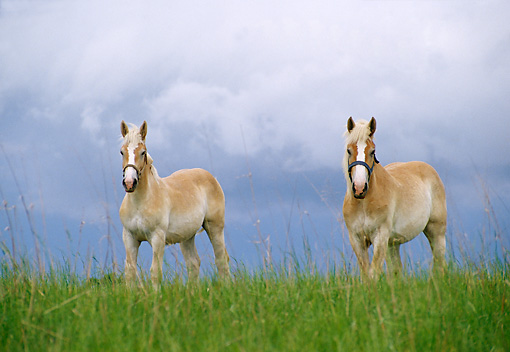 HOR 01 DB0013 01 © Kimball Stock Belgian Mare And Yearling Standing In Pasture In Spring Cloudy