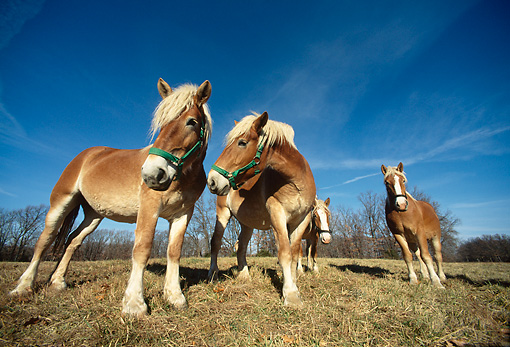 HOR 01 DB0014 01 © Kimball Stock Wide Angle Shot Of Herd Of Belgian Horses Standing In Field