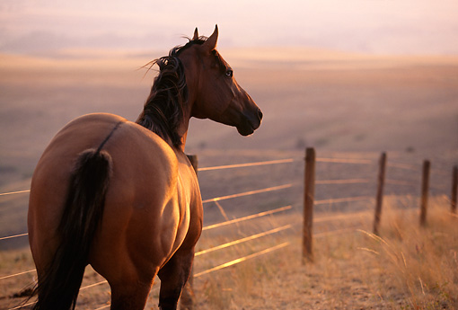 HOR 01 DB0015 01 © Kimball Stock Rear Shot Of Quarter Horse Standing Along Fence At Sunset