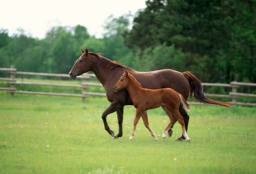 HOR 01 DB0016 01 © Kimball Stock Profile Of Chestnut Quarter Horse Mare And Foal Walking In Pasture