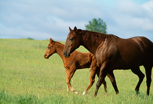 HOR 01 DB0017 01 © Kimball Stock Profile Of Chestnut Quarter Horse Mare And Foal Walking In Pasture
