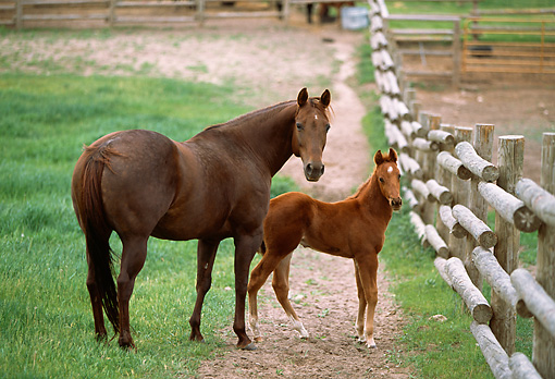 HOR 01 DB0019 01 © Kimball Stock Chestnut Quarter Horse Mare And Foal Standing At Fence Looking Back Toward Camera