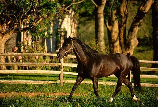 HOR 01 DB0020 01 © Kimball Stock Black Stallion Trotting In Field