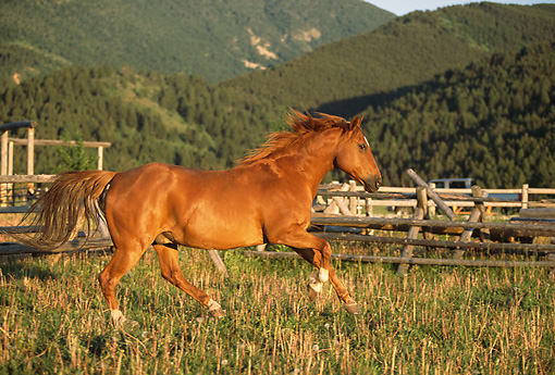 HOR 01 DB0022 01 © Kimball Stock Profile Of Chestnut Quarter Horse Cantering In Pasture With Fence Mountains